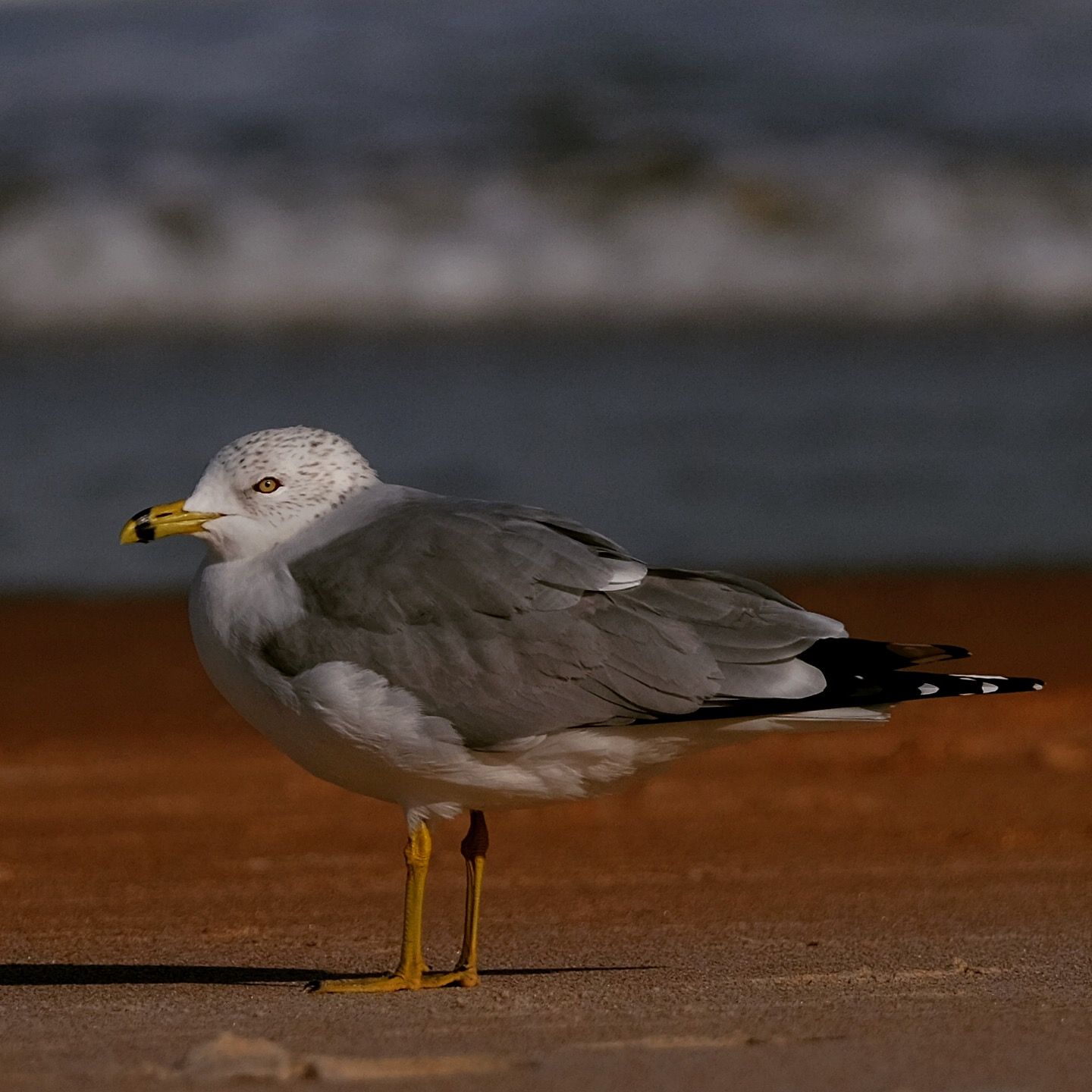Seagull, Ormond Beach, Florida